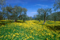Primavera in un campo di ulivi  - Mongiove (11903 clic)