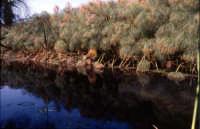 Piante di Papiro sul Fiume Ciane  - Siracusa (4055 clic)