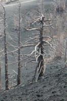 Alberi accerchiati dalla lava....  - Etna (2431 clic)