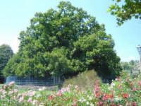 Castagno dei cento cavalli  - Sant'alfio (3564 clic)