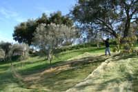 raccolta delle olive  - San salvatore di fitalia (3934 clic)