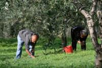 raccolta delle olive  - San salvatore di fitalia (6894 clic)