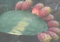Frutti di Sicilia i fichi d'india  - Nizza di sicilia (7608 clic)