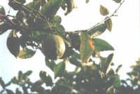 Frutti di Sicilia il limone  - Nizza di sicilia (4311 clic)