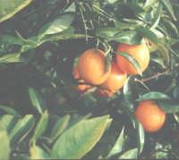 Frutti di Sicilia le arance  - Nizza di sicilia (5390 clic)