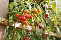 peperoncino campanellino  - Castelvetrano (3222 clic)