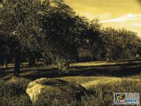 Ulivi  - Lascari (4035 clic)