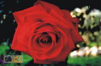 Macro di una Rosa  - Lascari (3158 clic)
