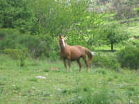 Un cavallo allo stato brado nei boschi dei Nebrodi, in prossimità di Longi  - Nebrodi (9181 clic)