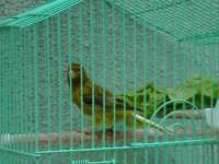 Canarino, tipico uccello da compagnia degli anziani di Scicli.  - Scicli (1876 clic)