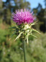 Carciofo selvatico fiorito, nella zona della diga delia di Castelvetrano  - Castelvetrano (12172 clic)