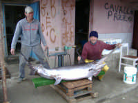 pesca fortunata nello stretto di messina     pescato con il conzo per le spadole peso Kg59     - Messina (4570 clic)