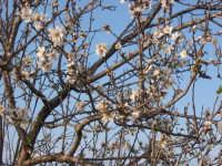 Mandorlo in fiore nelle campagne di scoglitti  - Scoglitti (2872 clic)