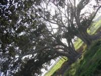 Alberi nelle campagne della salina  - Scoglitti (3081 clic)