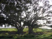 Alberi nelle campagne della salina  - Scoglitti (3173 clic)