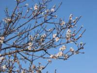 Mandorlo in fiore nelle campagne di scoglitti  - Scoglitti (3910 clic)