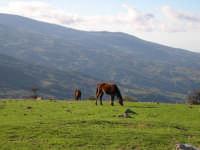 Cavalli al Pascolo in contrada Mangalaviti Parco dei Nebrodi.  - Galati mamertino (3099 clic)