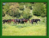 Cavalli nel Parco dei Nebrodi  - Galati mamertino (4847 clic)