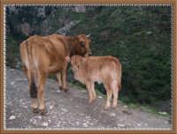 Mucca con Vitellino  - Nebrodi (5488 clic)