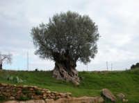 L'ulivo dei Mille Anni nel Giardino della Kolimbetra presso la Valle dei Templi di Agrigento   - Valle dei templi (21405 clic)