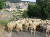 Ritorno all'ovile  - Petralia sottana (2785 clic)
