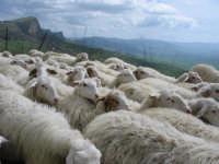 Gregge di pecore alle falde delle Serre di Ciminna  - Ciminna (5181 clic)