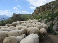 Gregge di pecore alle falde delle Serre di Ciminna  - Ciminna (6973 clic)