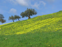Paesaggio siciliano a inizio primavera  - Ciminna (5448 clic)