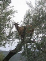 A capruzza arrampicata  - San mauro castelverde (2218 clic)