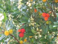 Corbezzolo, chiamato anche Albero d'Italia per i tre colori, il Verde delle foglie,il Bianco dei fiori e il Rosso dei frutti.  - San mauro castelverde (1678 clic)