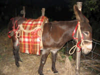 Asino  - San mauro castelverde (2125 clic)