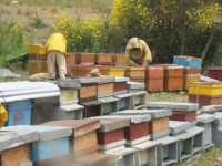 Località  Capuano  agro del Comune di Gangi, ogni anno nel periodo della fioritura della SULLA il Signor BUONGIORNO ALFIO e la moglie, si spostano da Zafferana (CT)per venire a depositare le cassette con le api per la produzione del miele.    - Gangi (3307 clic)