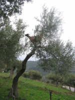 Tiberio......A Capruzza  - San mauro castelverde (2062 clic)