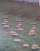Funci di Pampina  il sogno di tutti i cercatori di funghi è quello di rirovarsi davanti a se, tutto questo .......Buona Fortuna   - San mauro castelverde (7790 clic)