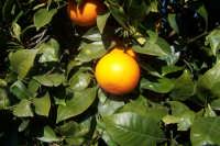 Agrumi di Sicilia,varietà tarocco.  - Paternò (3075 clic)