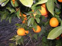 Arance sanguinelle, varietà moscato, di Paternò.  - Paternò (5226 clic)
