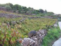 Vigneti.  - Pantelleria (5805 clic)