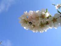 il mandorlo in fiore   - Scicli (4459 clic)