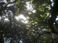 Castagneto alle pendici dell'Etna  - Zafferana etnea (3595 clic)