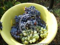 Vendemmia 2008 - Panaro d'uva.  - San giovanni la punta (6392 clic)