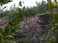 Gli alberi di pesco...  - Viagrande (6351 clic)