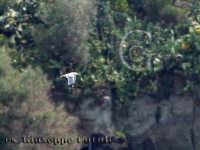 Il volo di un gabbiano attorno all'isola Lachea  - Aci trezza (3326 clic)