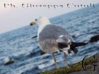 Gabbiano  - Aci trezza (2238 clic)