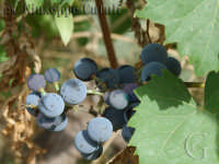 I primi grappolini di uva  - Santa venerina (3672 clic)
