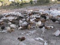 andando in giro per le campagne di scicli si possono notare gli allevamenti di bestiame, un esempio e riportato in questa foto.   - Scicli (1916 clic)