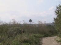 grande palma secolare,che si trova all'interno della riserva  - Donnalucata (2174 clic)