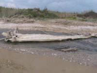 riserva naturale,tronco posizionato in modo da permettere l'attraversamento   - Donnalucata (1840 clic)