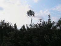 riserva naturale,antica palma secolare,si puo' ammirare da tutta la riseva  - Donnalucata (2192 clic)