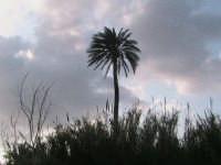 riserva naturale,antica palma secolare,si puo' ammirare da tutta la riseva  - Donnalucata (2078 clic)