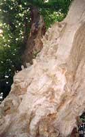 Castagno dei 100 cavalli  - Sant'alfio (3831 clic)